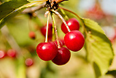 Montmorency Cherries Ayers Creek Farm