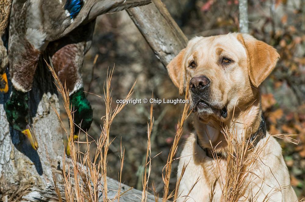 labrador retriever stock photo image photography