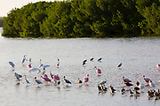 Roseate Spoonbills, Platalea ajaja, and White Ibis, Eudocimus albus, and other wading shorebirds on Captiva Island, Florida USA