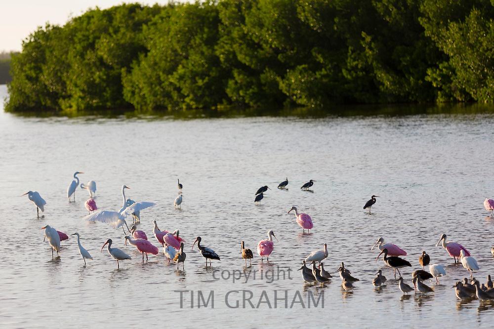 Roseate Spoonbills, Platalea ajaja, and White Ibis, Eudocimus albus, and other wading shorebirds on Captiva Island, Florida USA