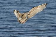 Herring Gull - Larus argentatus - Juvenile.