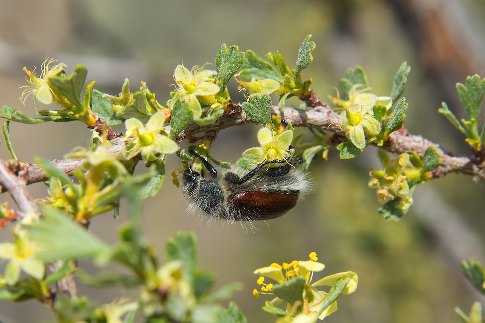 The little bear beetle is a type of scarab beetle associated with apple and pear orchards in the dry parts of Washington, Oregon and California. This one rests in an antelope bitterbrush bush in the sagebrush desert in Central Washington.