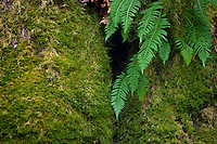 Spaghnum moss and Licorice Ferns (Polypodium glycyrrhiza) growing on a Big Leaf Maple in a temperate rain forest in Olympic National Park, Washington state, USA.