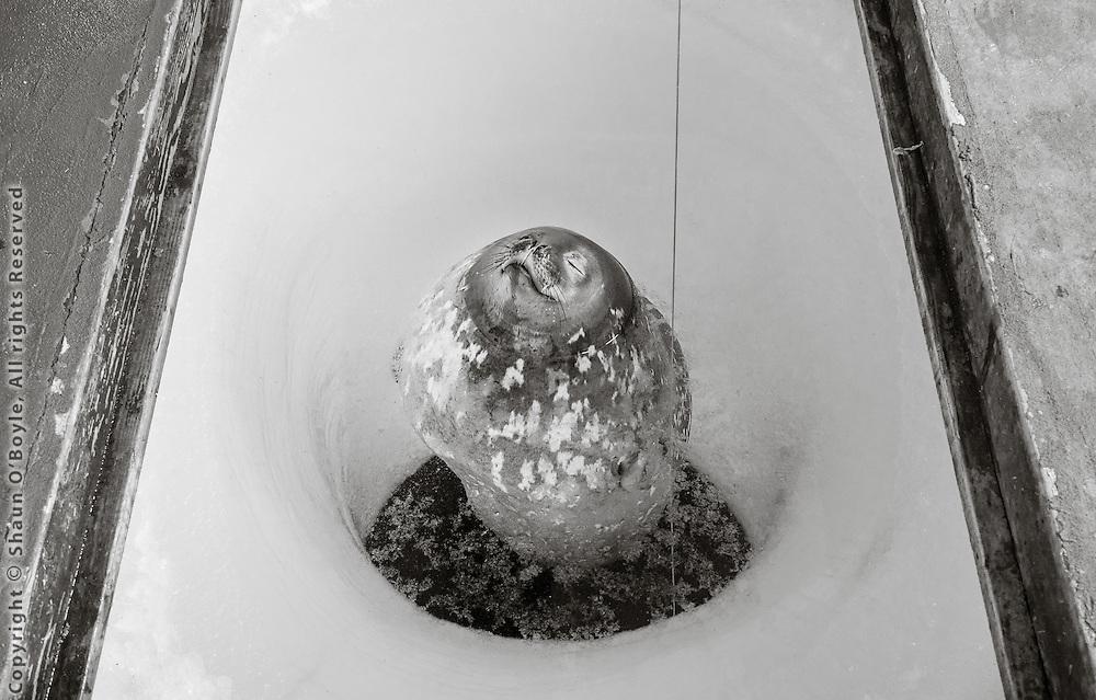 Zen Weddell seal