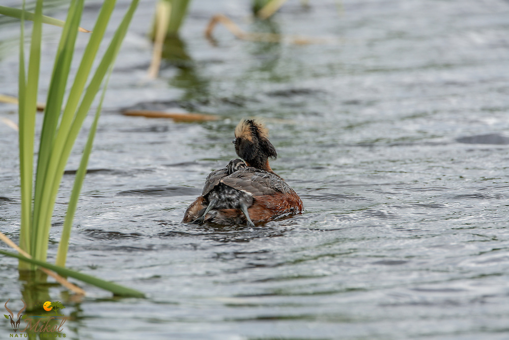 Horned Grebe with Chick getting on back, legs splayed out