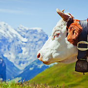 A cow grazing high up in the Alps near Grindewald, Switzerland.<br />