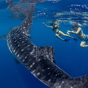 Two tourists swimming with a whale shark (Rhincodon typus), Honda Bay, Palawan, the Philppines.