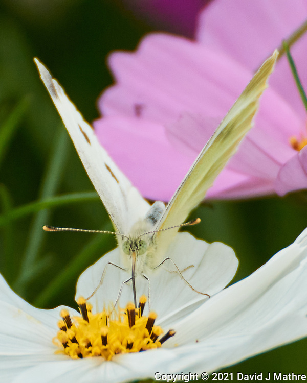 Cabbage White butterfly on a Cosmos flower. Image taken with a Nikon 1 V3 camera and 70-300 mm VR lens.