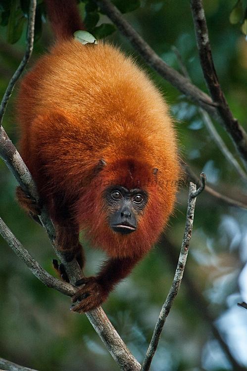 Red howler monkey<br /> (Alouatta macconnelli)<br /> GUYANA<br /> South America<br /> RANGE: Gutyana, Trinidad, French Guiana, Brazil.