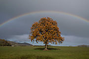 Rainbow arches above a tree in Autumn leaf on 15th November 2020 in Martley, United Kingdom. Martley is a village and civil parish in the Malvern Hills district of the English county of Worcestershire.