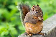 A Douglas Squirrel (Tamiasciurus douglasii) eating next to the trail in Campbell Valley Park