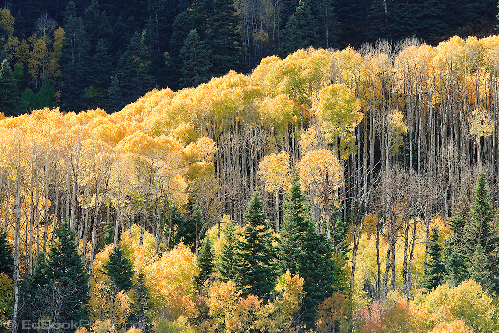 Aspen (Populus tremuloides) grove leaves turn autumn yellow on a mountainside in the Animas River Valley in the San Juan Mountains of southwestern Colorado, USA.