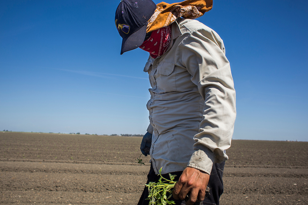 A farmworker (who preferred to remain anonymous) plants tomatos in a field near Firebaugh, CA.  April 13, 2015.
