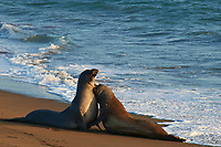 Elephant Seals at Piedras Blancas Beach, Central California Coast. Image taken with a Nikon D3x and 70-300 mm VR lens (ISO 400, 300 mm, f/8, 1/250 sec).