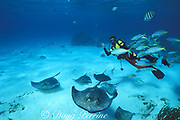 divemaster, southern stingrays, Hypanus americanus ( formerly Hypanus americanus, formerly Dasyatis americana), and yellowtail snappers, Ocyurus chrysurus, at Stingray City, Grand Cayman, British West Indies ( Caribbean Sea )