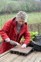 Taking root cuttings from pot grown Acanthus mollis 'Hollard's Gold'. Carol Klein covering tray of cuttings with grit