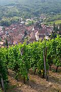 riesling vineyard view of village from kastelberg gc andlau alsace france