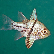 Obicular Cardinalfish form small groups in shallow water, often in mangorves and under docks. Picture taken Palau.