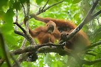 "Bornean Orangutan <br />Wurmbii Sub-species<br />(Pongo pygmaeus wurmbii)<br /><br />Adult female ""Beth"" with approx 5 year old juvenile male ""Benny"".<br /><br />Gunung Palung Orangutan Project<br />Cabang Panti Research Station<br />Gunung Palung National Park<br />West Kalimantan Province<br />Island of Borneo<br />Indonesia"