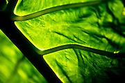 Healthy Leaf