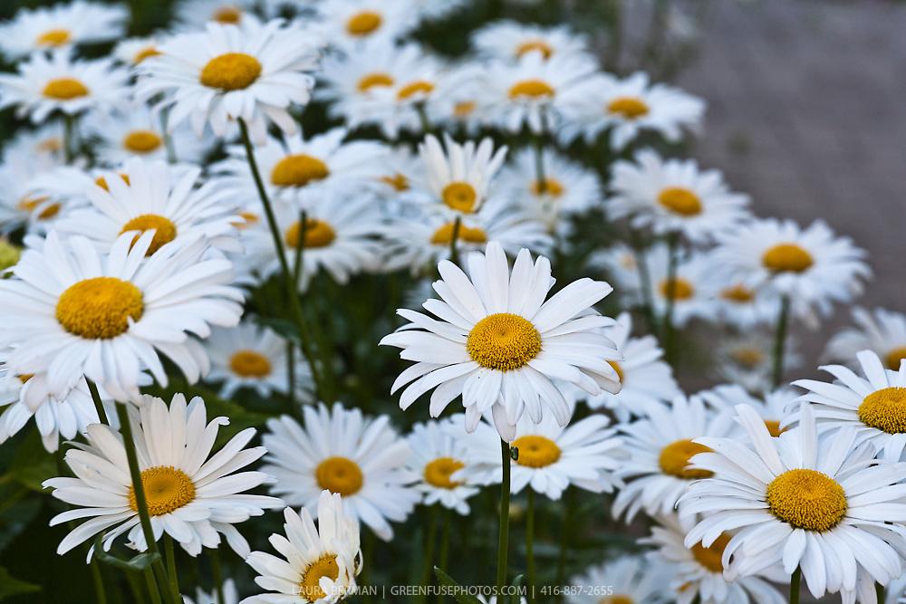 'Alaska' Shasta daisy (Leucanthemum ×superbum 'Alaska')