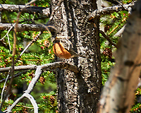 American Robin. Rocky Mountain National Park. Image taken with a Nikon D300  camera and 18-200 mm VR lens