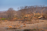 Spotted deer,  Axis axis, (Chital), by ruins of mosque in Ranthambhore National Park, Rajasthan, India