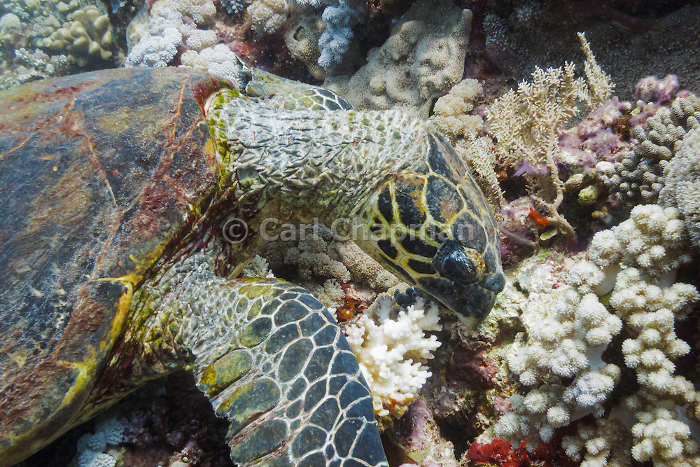 Hawksbill Turtle (Eretmochelys imbricata) feeding on coral reef - Agincourt reef, Great Barrier Reef, Queensland, Australia. <br /> <br /> Editions:- Open Edition Print / Stock Image