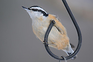 Red Breasted Nuthatch perched on the hook for a bird feeder in upstate, NY.