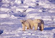 01874-07308 Polar Bears (Ursus maritimus) on the ice of Hudson Bay  Churchill MB