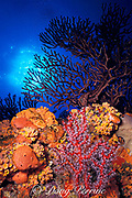 underwater scenic of sponges, soft corals and stony coral,<br /> on underwater pinnacle, Saba Island, Netherlands Antilles, ( Eastern Caribbean Sea )