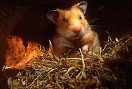Deutschland, DEU, Cuxhaven: Ein gerade erwachter Goldhamster (Mesocricetus auratus) in seinem Nest aus Heu.  Germany, DEU, Cuxhaven: Golden Hamster (Mesocricetus auratus) just awaken in its subterranean sleeping nest made out of hay.  