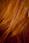 Golden rooster feathers form an abstract photographic art design