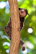 Santa Luzia_MG, Brasil...Macaco no galho de uma arvore...The monkey on the branch tree.