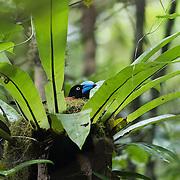 Helmet vanga, Euryceros prevostii, nesting in a bird's-nest fern