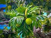 Breadfruit, Taiohae, Nuku Hiva, Marquesas, French Polynesia, South Pacific