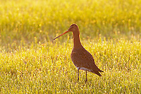 Black-tailed Godwit (Limosa limosa), Texel, the Netherlands