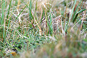 A Magellanic Snipe (Gallinago magellanica magellanica) hides in grass on Monday 5th February 2018.