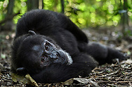 A common chimpanzee male (Pan troglodytes)is laying relaxed on the forest floor, Kibale NP, Uganda