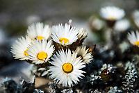 Helichrysum retortum, Sea Strawflower, Agulhas National Park, Western Cape, South Africa,