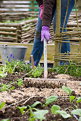 Molly sowing carrots - raking grit