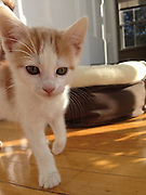 """Kitten Found with Paws Frozen to Fence Seeks New Home<br />  <br /> A homeless kitten found in Dorchester, Mass. with his front paws frozen to the metal wire of a neighborhood fence is on the mend and will soon be placed for adoption,<br />  <br /> A good Samaritan, who heard the kitten's cries from inside his house on March 7, used warm water to free the frightened feline's legs from the fence before rushing him to the Emergency & Critical Care Unit at the MSPCA's Angell Animal Medical Center in Boston.<br />  <br /> Hypothermic, scared and in pain<br /> Angell's Dr. Meagan Rock was first on the scene.  """"This little guy was extremely lucky to have a kind stranger step in and help because his situation rendered him defenseless against the cold and predators,"""" she said.  """"And by the time he got to us he was hypothermic and his legs were swollen.""""<br />  <br /> The team actively warmed the kitten using blankets, convection heat and warm water bottles, and administered pain medicine to sooth his sore paws.  He spent the night in the hospital and is continuing his recovery in Dr. Rock's home.  She expects his blistered front paws will heal completely in time.<br />  <br /> Dr. Rock named the kitten """"Ralphie"""" and will soon bring him back to the MSPCA, where he will be neutered, immunized and microchipped before he is placed for adoption.<br /> <br /> Photo shows: Ralphie prefers the comfort of a home than life on the streets<br /> ©Exclusivepix Media"""