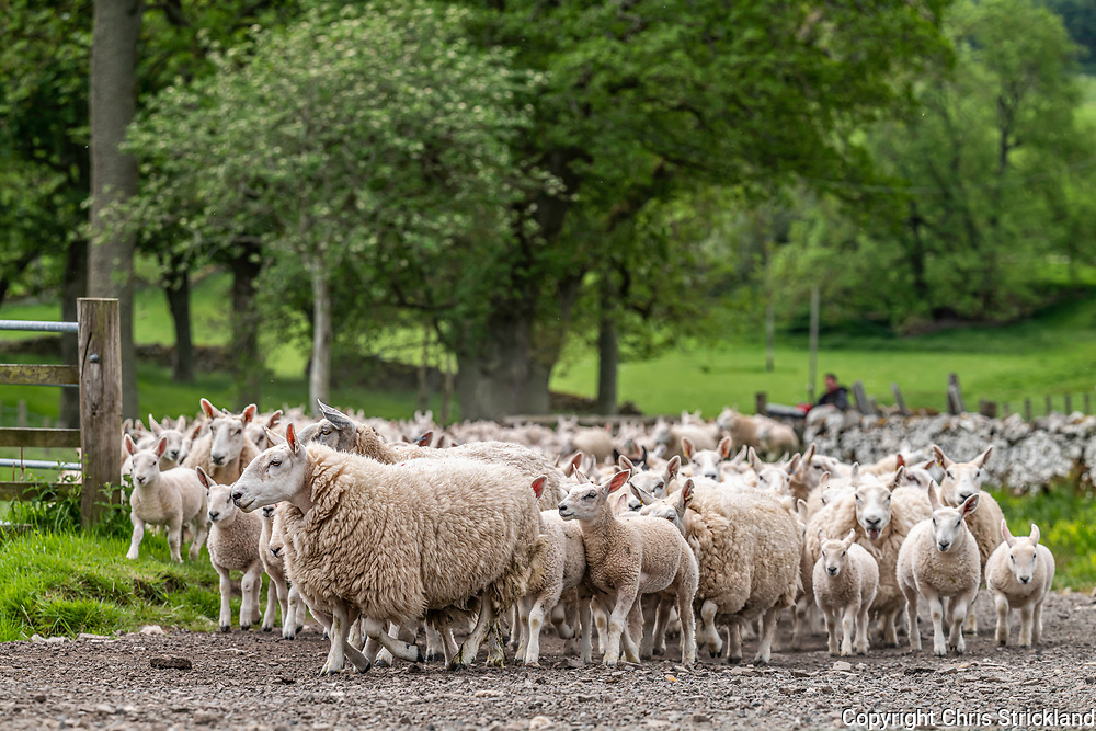 Swinside, Jedburgh, Scottish Borders, Scotland, UK. 11th June 2021. A flock of Cheviot mules are gathered up for a worming dose in the Scottish Borders after a recent spurt of grass growth. The dose will last six weeks.