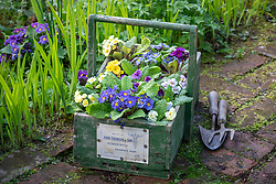 Wooden trug full of mixed Barnhaven primulas ready to plant out in the border