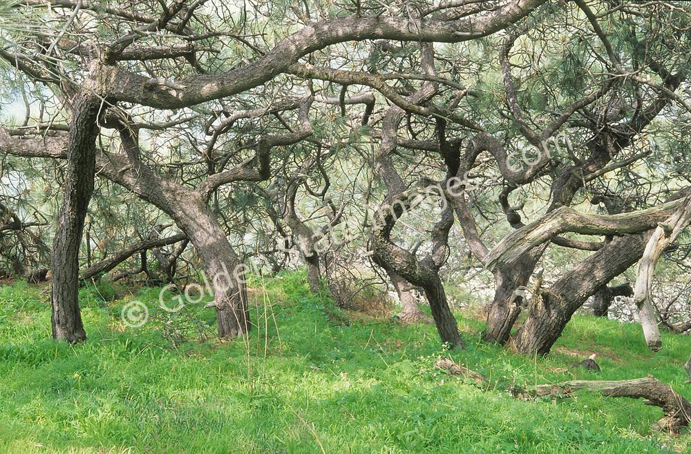 Species: Pinus torreyana
