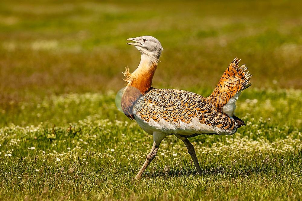 Fauna Iberica.  Avutarda. (Otis tarda)<br />  ©Javier I Sanchis / PILAR REVILLA