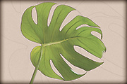 Digitally enhanced image of a leaf of Monstera deliciosa. Commonly grown for interior decoration in public buildings and as a houseplant. Common names include Swiss Cheese and Fruit Salad Plant