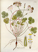 Woodsorrel (Oxalis variabilis). Illustration from 'Oxalis Monographia iconibus illustrata' by Nikolaus Joseph Jacquin (1797-1798). published 1794