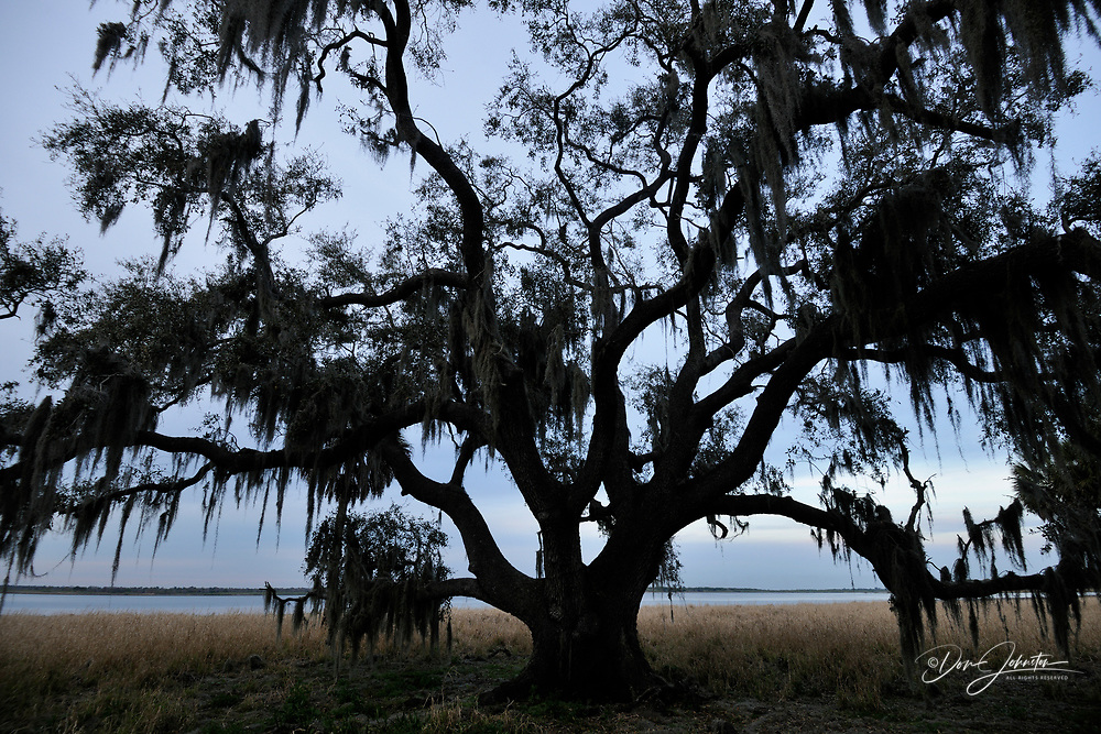 Live oak trees and spanish moss, Myakka River State Park, Florida, USA