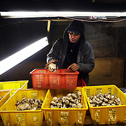 Dee San, a mushroom buyer originally from Cambodia, sorts matsutakes. The elusive matsusake mushroom, which fetches a pretty penny in Japanese restaurants, can begin its journey on the floor of the Fremont-Winema National Forest in Chemult, Ore. Here immigrants from Laos, Cambodia and other countries search for the mushrooms, creating a fungal economy and an ad hoc community.